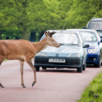 Take Care On Rural Roads As Deer Mating Season Approaches…